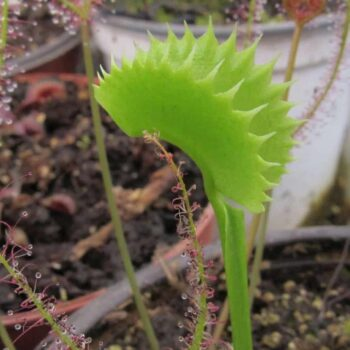 Dionaea 'Shark Teeth'