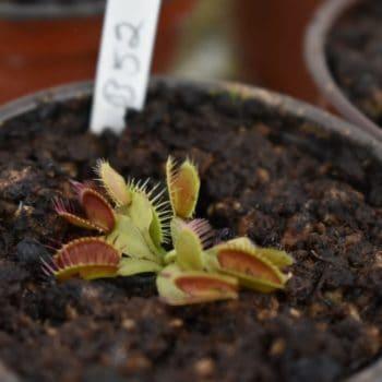 Dionaea 'B52' Chica