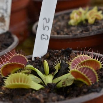 Dionaea 'B52' Mediana