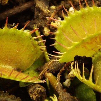 Dionaea 'Giant Clone'