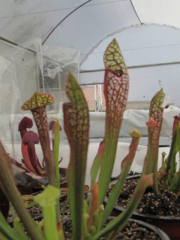 Sarracenia Leucophylla x Courtii