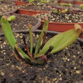 Sarracenia Purpurea Chica