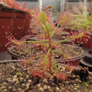Drosera Madagascariensis – 50 plantas chicas