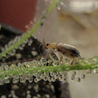 Drosera Tracyi – 50 plantas chicas