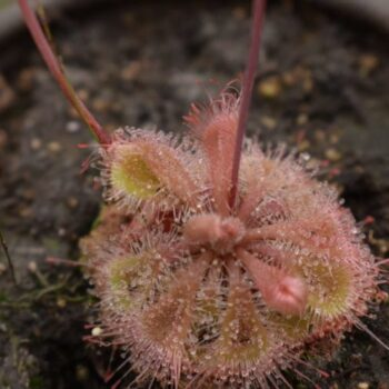 Drosera Burmanii Large Red Form